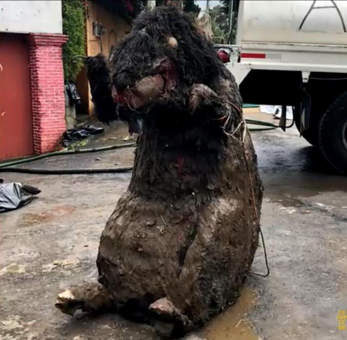 Rata Gigante Encontrada En La Ciudad de Mexico